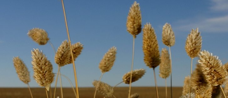Canaryseed markets are suffering from the strong dollar and competition from Hungary and Argentina, says Canpulse Foods.  |  File photo