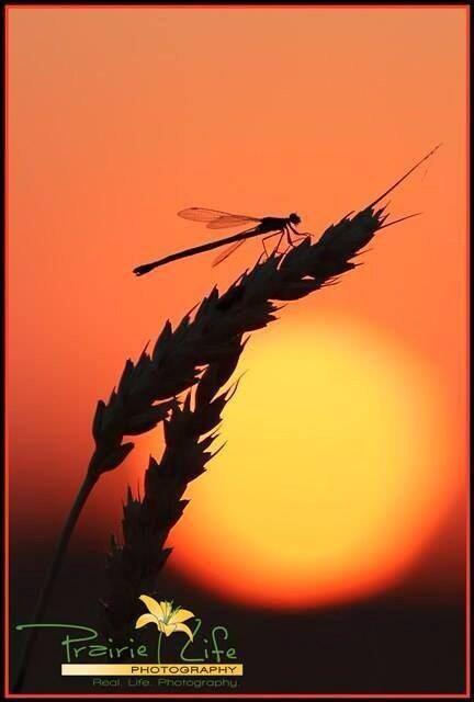 Prairie Life Photo @PrairieLifeSK @westernproducer sunset #harvest pic.twitter.com/DWmpaMu9dp