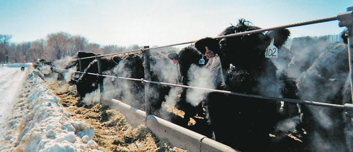 Beef cattle fed growth promotants in their feed gain weight faster and can improve feedlot profit margins. However, concerns are being raised about the side effects.  |  File photo