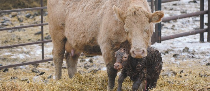Calves born in the first 21 days of the calving period are heavier when weaned at the end of the year.  |  File photo