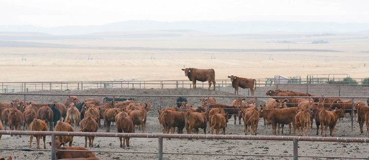 A study showed cattle that have been exposed to BVD virus tend to be susceptible to respiratory disease.  |  USDA photo