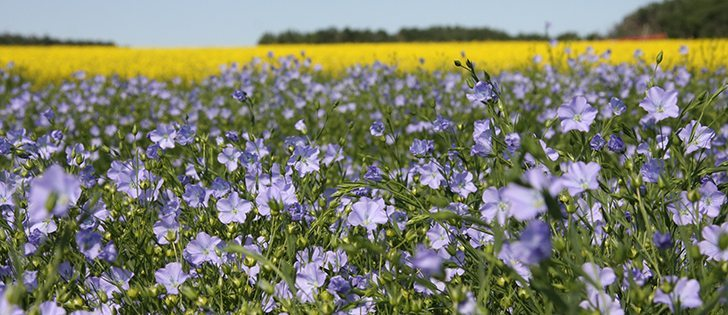 In this week's Video Update: Agronomists and economists in Manitoba say flax and soybeans are now the most profitable crops, generating operating margins of about $100 to $150 an acre. | File photo.