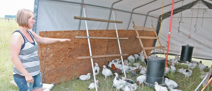 Arlie Laroche uses portable housing and electrified netting to protect chickens from a weasel that visits their Vanscoy, Sask., farm.  |  Sean Pratt photo