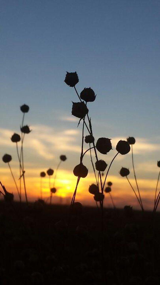 Jade Ballek @jadeballek Prarie flax at day's end - wish I could share the smell of #harvest14 4 U @CDNag @westernproducer #westcdnag #ontag
