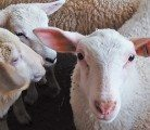 Prices for lambs are up and a drop isn't expected until a new crop goes to market this fall.  |  File photo