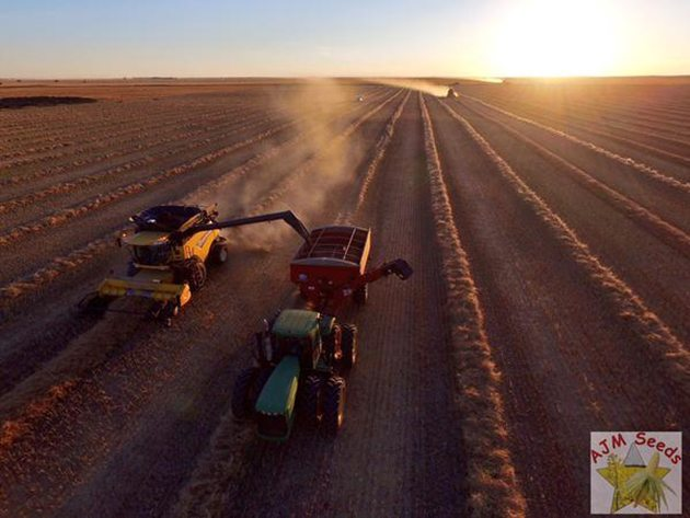 AJM Seeds‏ @Adrian_Moens Some early #harvest15 pictures @westernproducer