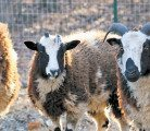 The Lewinskys say the sheep are expected to reach Israel this year, subject to passing medical tests, and will be used for educational and heritage purposes.  |  File photo