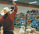 A ringman signals a bid at the 10th annual Pound Maker ram sale held at the Fort Macleod Auction Market May 19.  | Barb Glen photo