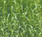 Seeded acres of flax have dropped steadily across Canada from more than 400,000 in the early 2000s to about 85,000 acres this year.  |  File photo