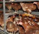 A University of California Davis study from last year indicated that cage free isn't better than cages. Researchers looked at free-run and enriched cages and concluded each system has negatives and positives.