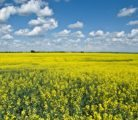 Omega-9 Canola Oil allows access to markets that are not currently accessible with commodity canola oil.