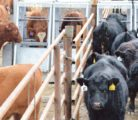 The GrowSafe Beef System installation shows cattle can move freely to the feed bunks, which capture information on feed intake, their weight and how often they are eating.  |  Grow Safe photo