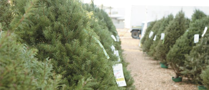 real christmas trees called greener choice - Why Is It Called Christmas