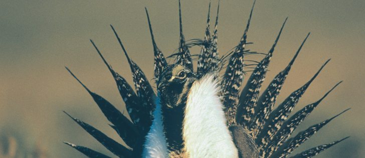 A new protection order is designed to stop the decline of the fledging sage grouse population   |  File photo