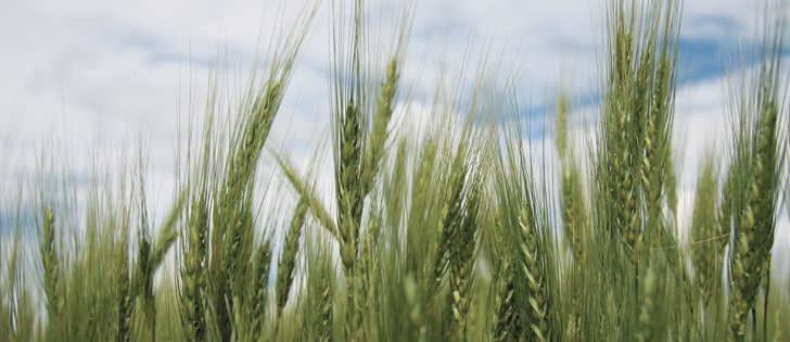The quality of winter wheat grown in Western Canada is excellent, but consistency of supply has been an ongoing challenge.  |  File photo