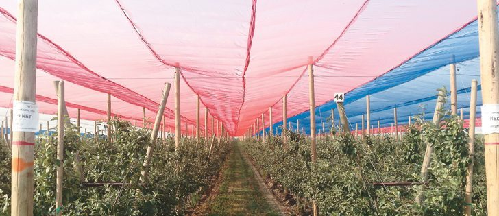 Photo selective netting experiments cover Honeycrisp apple trees at the Washington State University Tree Fruit Research and Extension Center in Wenatchee.  |  Lee Kaicsits photo