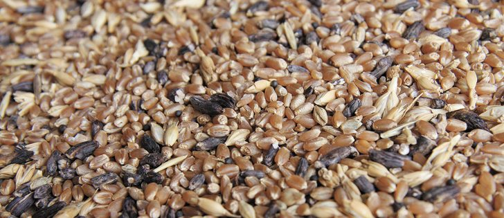 Ergot appears as hard black bodies in grain and affects grasses, wheat, barley, rye, triticale and oats.  | File photo
