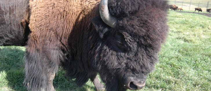 The draft code of practice for the care and handling of bison has been released for public comment and will be open for input until Jan. 19. | File photo
