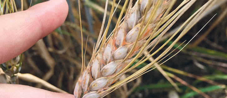 Fusarium, as seen in this sample, can have devastating consequences for wheat crops.  |  U of S Crop Development Centre/Mallory Dyck photo