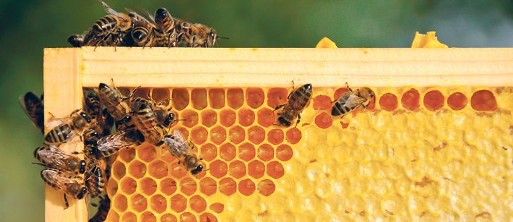 Lack of rain reduced honey yields in some areas but a beekeeper in northwestern Manitoba reaped 300 pounds per hive.  |  Getty image