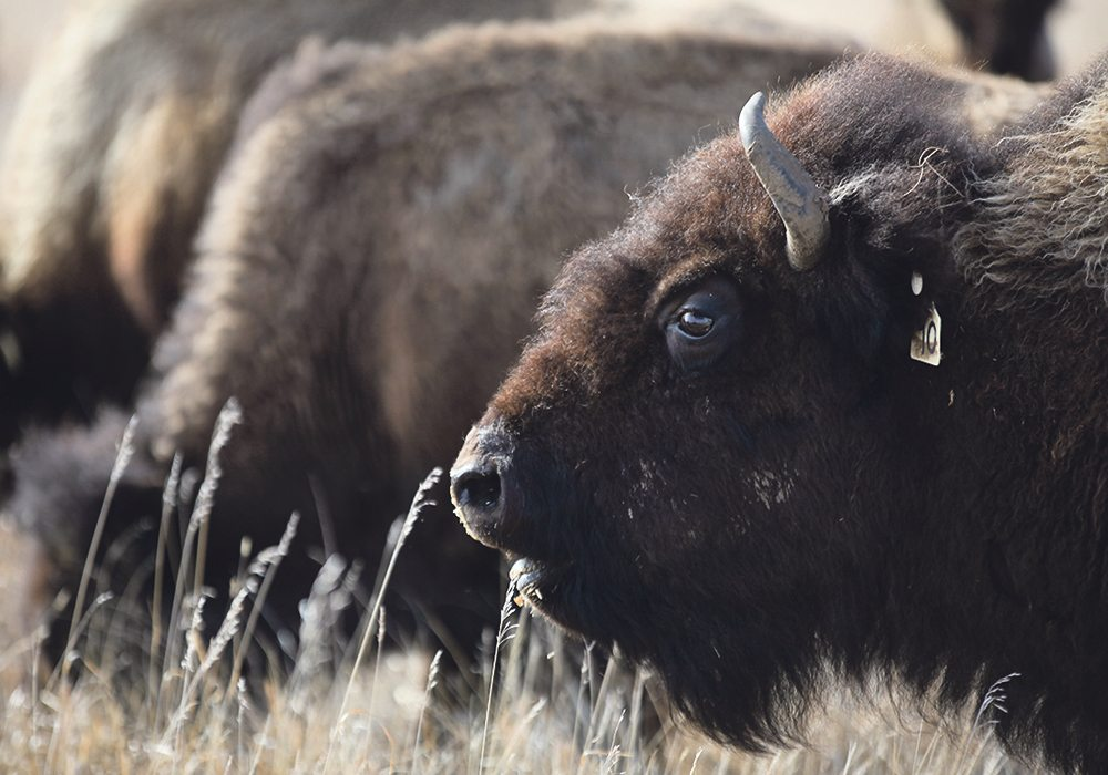 Canadian bison producers were challenged to think differently about the animals they raise during a presentation at their annual convention last week. | File photo