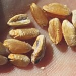 Fusarium gramarium's larger threat to the grade and quality of crops like durum is the DON, rather than the damaged kernels.  |  Michael Raine photo