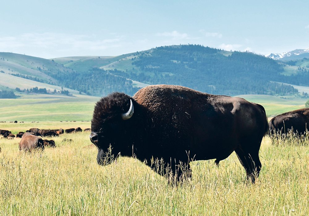 It's thought that the presence of more bison would help native youth better understand and connect with their culture.  |  File photo
