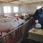 China is looking to artificial intelligence to improve its hog herd. Here, farmer Shi Hongwei feeds his pigs in Xiaoxinzhuang village Hebei province earlier this year.  |  REUTERS/Dominique Patton photo