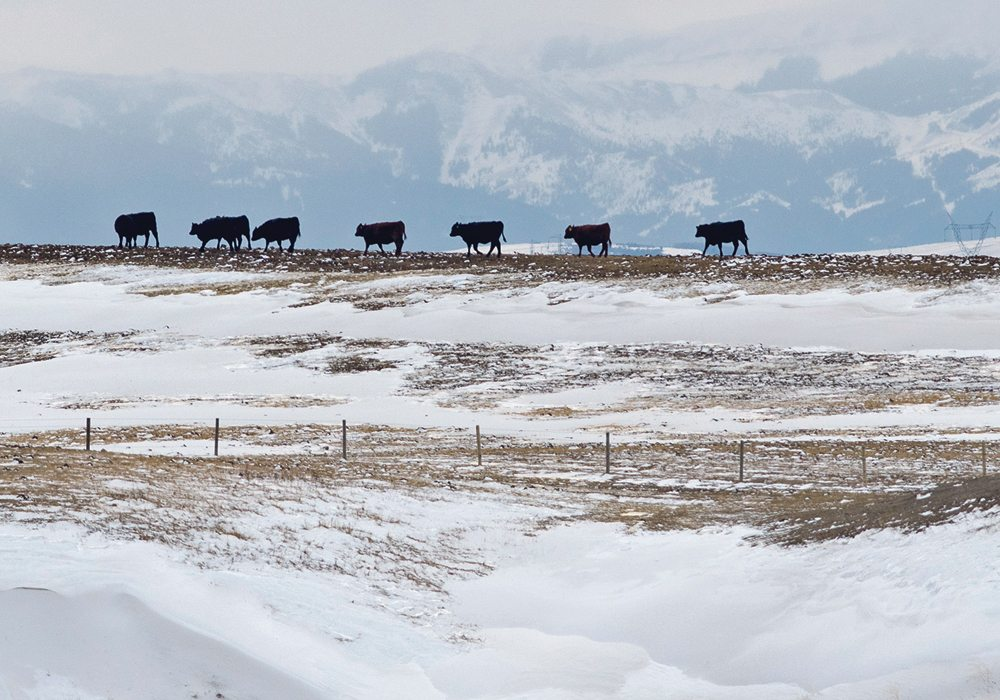 Mineral deficiencies are partially caused by high levels of sulfates in western Canadian water and soil, which inhibit cattle's ability to absorb copper.  |  Mike Sturk photo