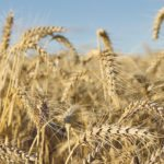 Farmers on the northern U.S. Plains are considering spring wheat over corn this spring.  |  File photo