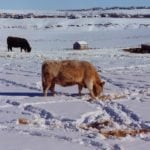 Rancher ordered to pay for drowned cattle in his care