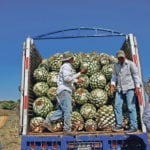 Farmers, also known as jimadores, load blue agave hearts onto a truck after harvest in Tequila, Jalisco, Mexico.  |  REUTERS/Carlos Jasso