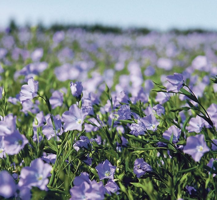 Farmers with flax in the ground should be pleased come autumn. | File photo