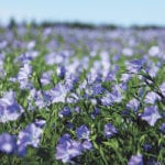 Firm, steady prices expected for flax this year