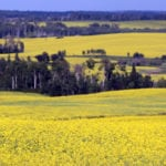 CDN canola and wheat crops hiked in new production report
