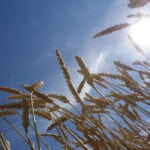 Dry conditions across Manitoba are causing crops to advance quickly, according to the weekly crop report from Manitoba Agriculture, released on Aug. 13. | File photo