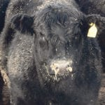 Despite an extensive ear tagging system in Canada, the Canadian Food Inspection Agency found weaknesses in the system during the bovine tuberculosis investigation in Alberta last year because ownership and movement of cattle were hard to determine.  |  File photo