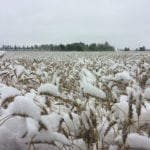 Jerome Isaac's wheat crop in Debolt, Alta., is covered in snow.  |  Jerome Isaac photo