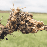 If you do find clubroot in your fields, the best policy is to advise neighbours and local agronomists. | File Photo