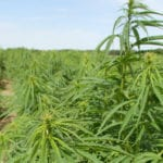 Cannabis cousin hemp entering new age, too