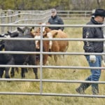 Lee Sinclair of Merck Animal Health and Coy Schellenberg demonstrate cattle handling for about 30 producers who attended the Saskatchewan Verified Beef Production workshop, which was held for the first time at the Ag in Motion site near Langham, Sask.  |  William DeKay photo