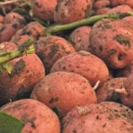 Bad harvest weather causes potato shortage