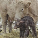 Calves born with intestinal bacteria: study