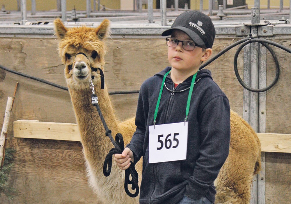 Daylin Shotter from Creekside Alpacas in Osage, Sask., waits his turn in the show ring with TGS Creekside's Echo, a two-year-old fawn-coloured huacaya alpaca. | Karen Briere photo