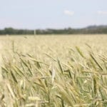 Quebec rye production on the rise