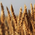 Western Canadian wheat bids rise with U.S. futures