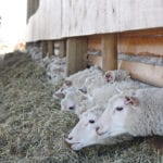 Lamb expansion plan concerns producers