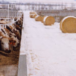 Sask. delays end to Livestock Loan Guarantee Program