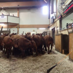 Weekly Manitoba Cattle Report: Good market for lightweights