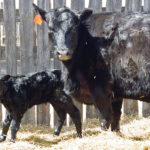 The cow-calf pair should be moved to another clean, well-bedded environment shortly after birth and the calf is mothered up.  |  File photo